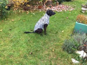 Hundebody im Zebrastyle als Beruhigungsshirt, sitzend seitwärts