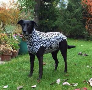 Hundebody im Zebrastyle als Beruhigungsshirt