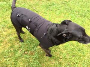 Lucky mit Hundeberuhigungsweste - Original Anxiety Wrap, in Bewegung