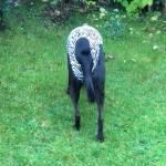 Hundebody im Zebrastyle als Beruhigungsshirt, Rückansicht