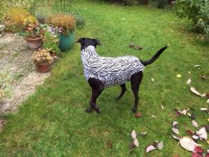 Hundebody im Zebrastyle als Beruhigungsshirt in Bewegung