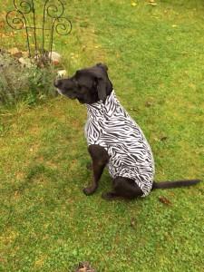 Hundebody im Zebrastyle als Beruhigungsshirt, seitlich sitzend