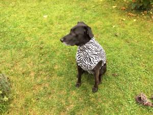 Hundebody im Zebrastyle als Beruhigungsshirt, sitzend
