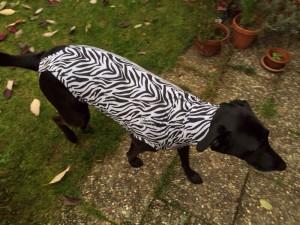Hundebody im Zebrastyle als Beruhigungsshirt in Bewegung von oben