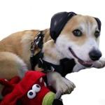 Hund mit Gehörschutz